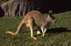 """What's the personality of a kangaroo?"""