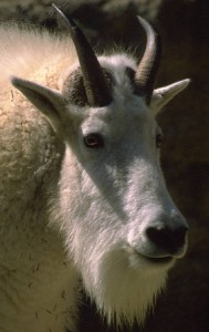 What's the connection between a cobweb and a goat?