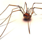How do you put a nappy (diaper) on a daddy longlegs spider?