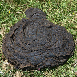 What can you learn from a cow-pat, a humble chunk of bovine dung?